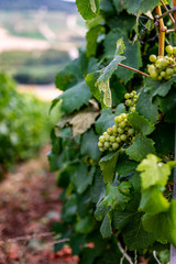 Grapes in vineyard in Champagne, France, Reims Epernay