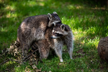View of a pair common raccoons on the meadow
