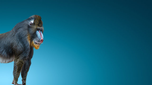 Banner with portrait of a mature alpha male of colorful African mandrill at smooth gradient blue background with copy space, closeup, details