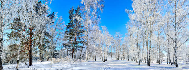 Frozen birch and pine trees with snow and hoarfrost covered at sunny winter day with blue clear sky - beautiful sunshine panoramic widescreen landscape. Ski walk in winter wonderland. Snowy forest