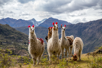 Foto op Plexiglas Lama Llamas on the trekking route from Lares in the Andes.