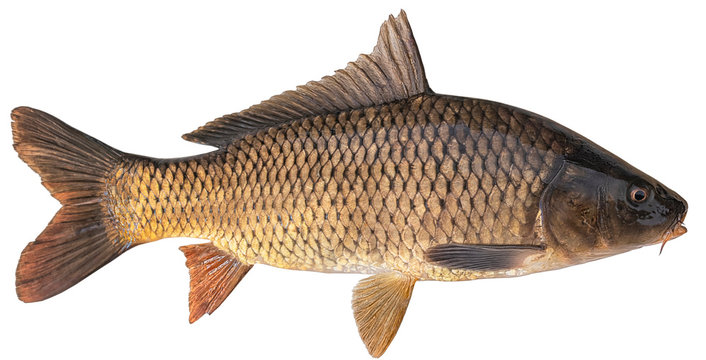 Freshwater fish isolated on white background closeup. The common carp  is a  fish in the carp family Cyprinidae, type species: Cyprinus carpio