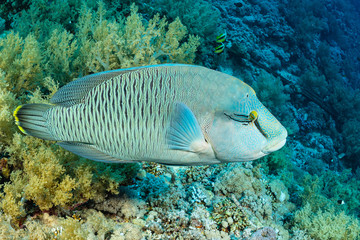 humphead wrasse or napoleon fish on a reef