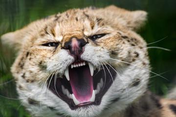Fototapeta Krzyk dzikiego kota w ZOO obraz