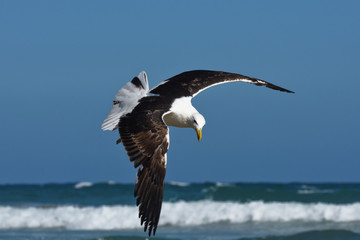 Kelp Gull In Flight By The Sea (Larus dominicanus), Mossel Bay, South Africa