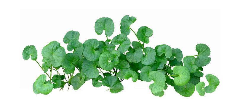 Gotu Kola umbrella shape leaves on white background