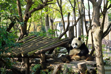 Tuinposter Panda Giant panda resting on the bamboo made platform. The giant panda, also known as panda bear or simply panda, is a bear native to south central China.