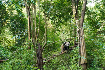 Spoed Fotobehang Panda Giant panda climbing up to the tree and having a peaceful moment there.The giant panda, also known as panda bear or simply panda, is a bear native to south central China.
