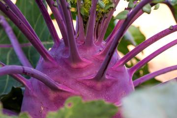 Close up of fresh organic kohlrabi in the garden - selective focus