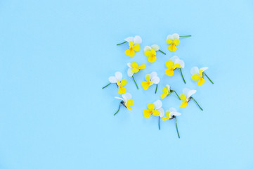 Wall Mural - Beautiful yellow viola flowers on pastel blue background. Flat lay, top view, copy space.