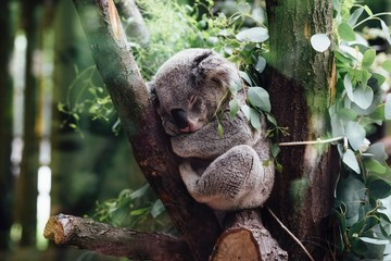 Türaufkleber Koala Koala sleeping on tree branch
