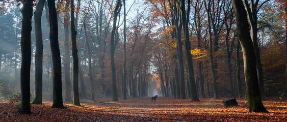 dog in autumnal forest near dutch towns of zeist and utrecht in the fall