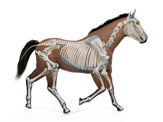 3d rendered medically accurate illustration of the equine anatomy - the skeleton Papier Peint