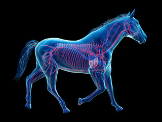 3d rendered medically accurate illustration of the equine anatomy - the vascular system