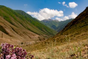 Bunch of fresh oregano (Origanum vulgare) wild flowers in the high mountain area blured background