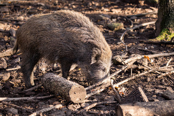 Boar digs in the forest floor