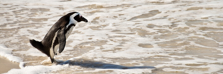 African penguin on beach, Boulders national Park, South Africa