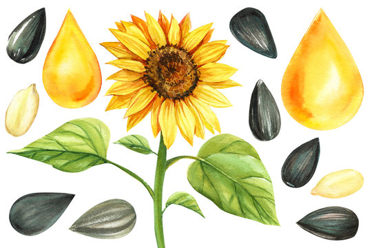set watercolor illustration, sunflower on isolated white background, sunflower seeds, a drop of oil.