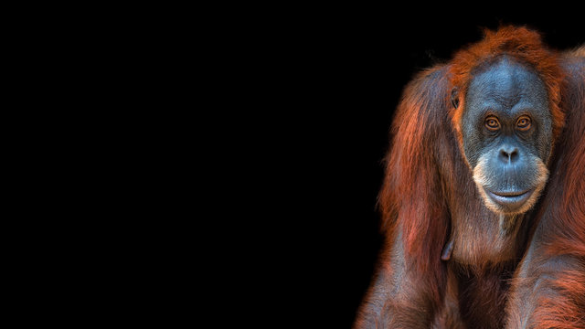 Banner with portrait of funny colorful Asian orangutan at black background with copy space for text, adult, details