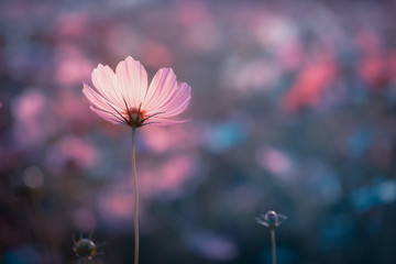 Cosmos flowers beautiful