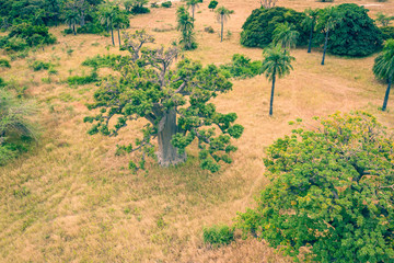 Aerial view of Baobab tree. Senegal. West Africa. Photo made by drone from above. Wall mural