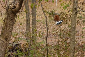 Downy woodpecker feeding from hanging suet feeder