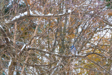 Bluejay bird in tree with snow