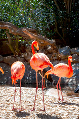 Pink flamingo birds. Gran Canaria, Canary Islands, Spain