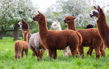 Alpaca herd on a spring meadow, South American mammals