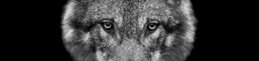 Spoed Fotobehang Wolf Grey wolf with a black background