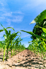 Agricultural field with corn seedlings