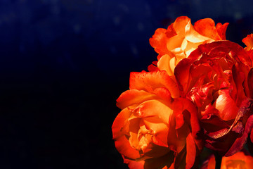 Red roses on a dark blue background, toned image