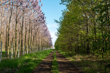 Plantation of blossoming Paulownia trees and country road - selective focus