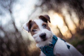 Parson Russell Terrier Portrait with Sunset Bokeh