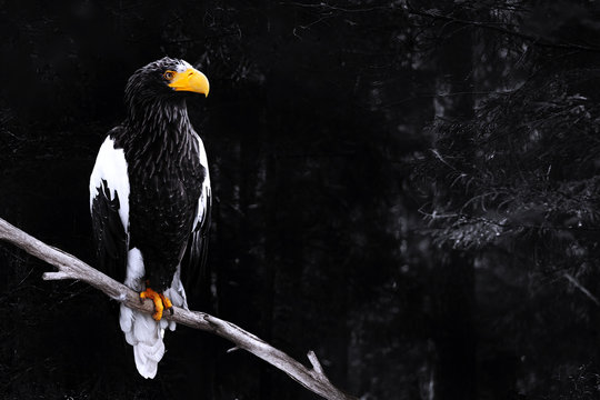 Steller sea eagle or Haliaeetus pelagicus on a branch in dark forest, toned image