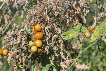 Advanced potato late blight on tomatoes