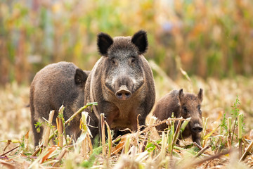 Angry wild boar, sus scrofa, having a guard and taking care of his family in the background. Little piglet standing on the corn field protected by the dominant pig. Concept of family protection.