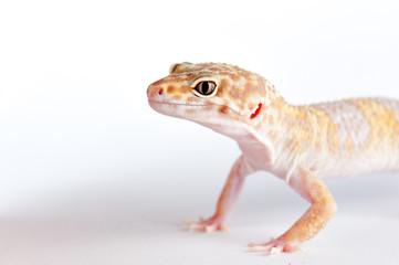 Eublepharis macularius a little lizard