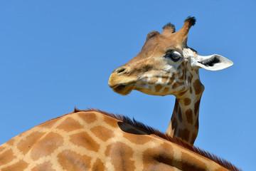 Head of giraffe (Giraffa camelopardalis) on blue sky background