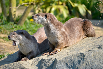 Smooth-coated otters (Lutrogale perspicillata) lying on grass, one having mouth opening