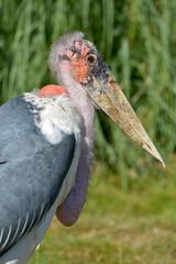 Profile portrait marabou stork (Leptoptilos crumeniferus)