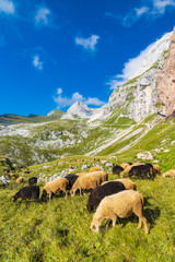 herd of sheep near Mangart, Triglav national park, Slovenia