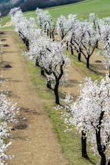 Almond tree orchard in Hustopece, South Moravia, Czech Republic