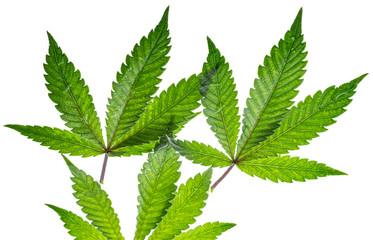 leaves medicinal hemp - cannabis - close up