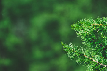 Green branches in coniferous forest on summer day