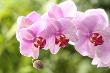 Branch of beautiful pink Phalaenopsis orchid on blurred background, closeup