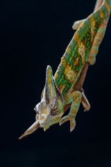 Male veiled chameleon on a branch, Indonesia