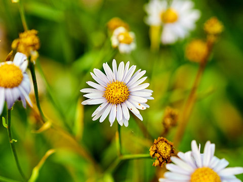 flowering daisies in the autumn garden