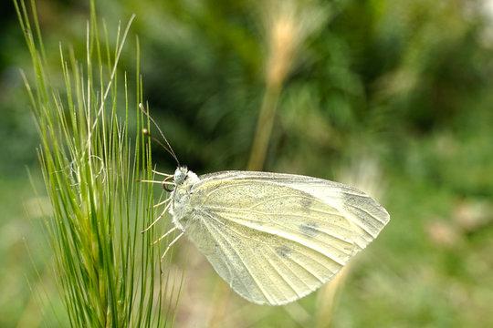 Schmetterlinge Deutschlands - Kohlweißling