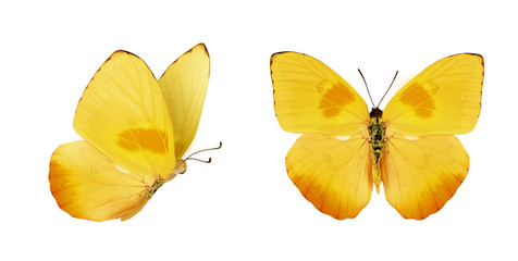 Two beautiful yellow butterflies Phoebis philea isolated on white background. Butterfly with spread wings and in flight.